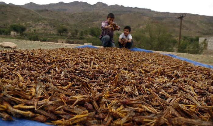 What is Locust Plague And Why Should India be Worried ...