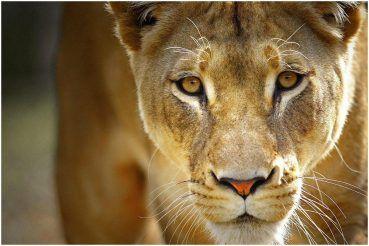Kolkata: 'Drunk' Man Attacked By Lion After Entering Alipore Zoo Enclosure, Critical