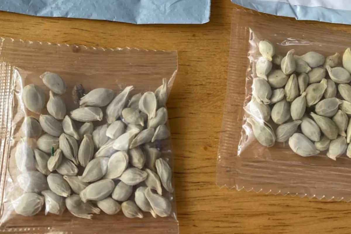 People in US & Canada Are Receiving 'Mystery Seeds' From China, Is it  Another Chinese Conspiracy or a 'Brushing Scam'? | India.com