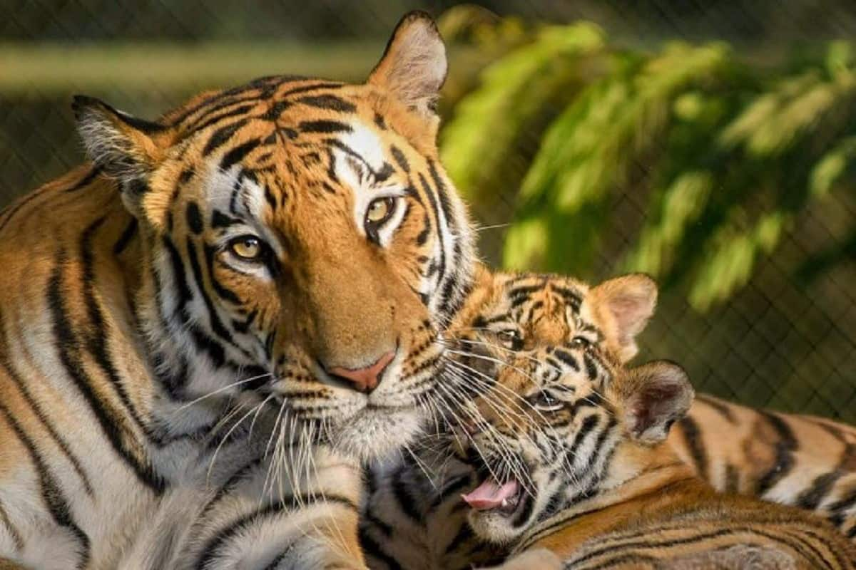 SBI Adopts 15 Tigers in Hyderabad Zoo for One year | India.com