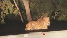 Leopard Spotted Roaming in Odisha's Kalahandi, Panic Grips Residents | Watch