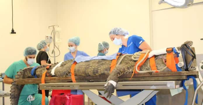 Hungry Crocodile Swallows Tourist's Shoe, Vets Remove It Through Surgery