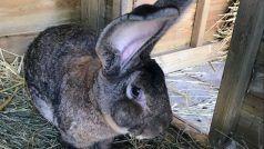 Darius —World's Largest Rabbit Stolen, Owner Offers Rs 2 Lakh Reward For Information