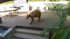 Viral Video: Two Tiny Dogs Chase a Giant Bear Out of Family Home While Owner Napped | Watch