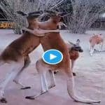 Viral Video: Hilarious Fight Between 2 Kangaroos Confuses Internet, Are They Hugging Or Fighting?