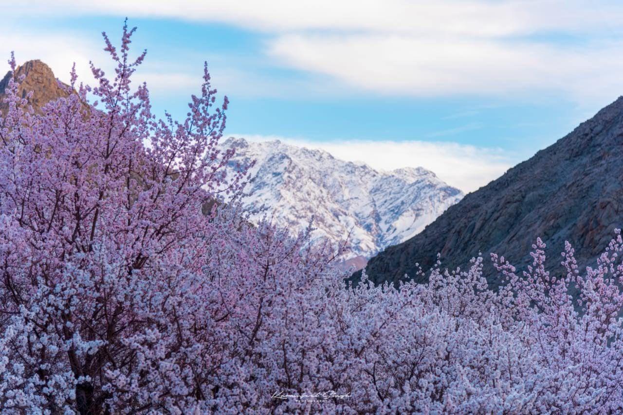 Visual Delight: Ladakh Apricot Blossom Festival Is A Traveler's Paradise | See Pics