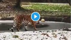 Viral Video: Tiger Walks on Thin Ice, What Happens Next Will Make You LOL