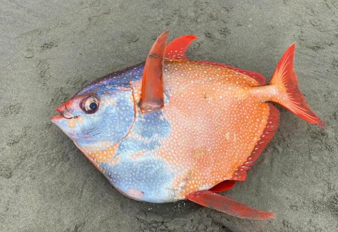 100-pound Opah fish found on Oregon's coast