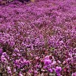 World's Rarest Flower, Neelakurinji, That Blooms Only Once in 12 Years Covers Kerala in Hues of Blue