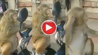 Viral Video: Monkey Checks Himself Out in Bike's Mirror, His Reaction Will Leave You Splits. WATCH